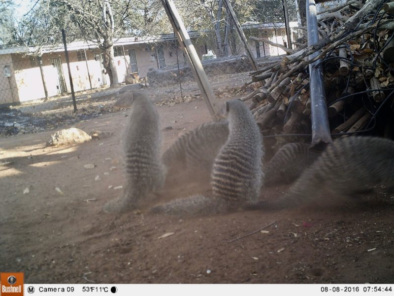 "Banded mongooses caught on a ""camera trap"""